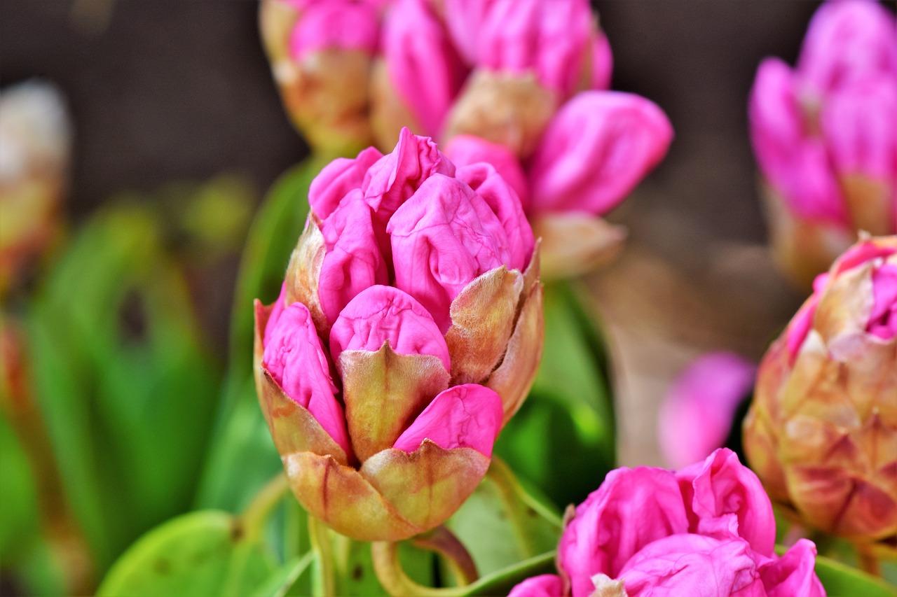 Rhododendron virágzás Burgenlandi várlátogatással